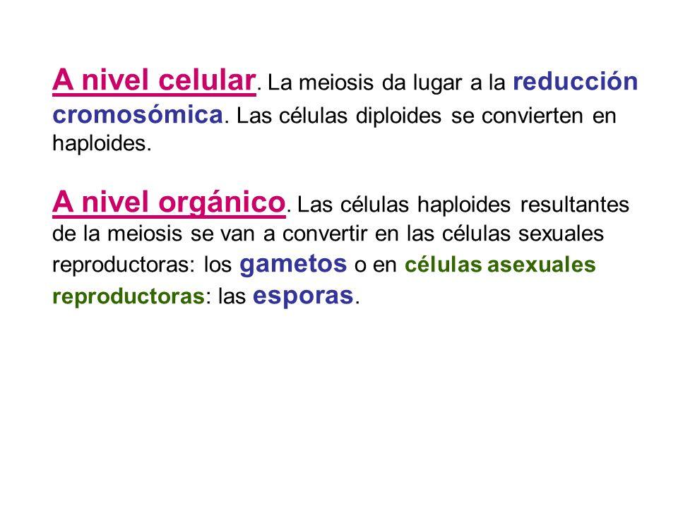 A nivel celular. La meiosis da lugar a la reducción cromosómica. Las células diploides se convierten en haploides. A nivel orgánico. Las células haplo