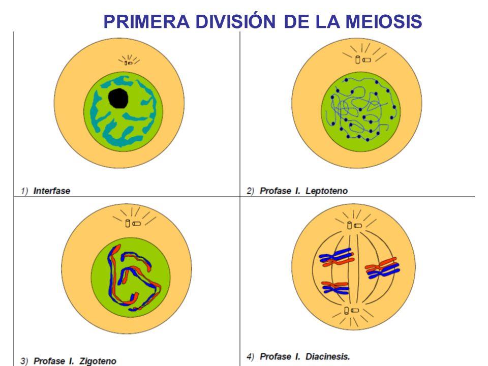 PRIMERA DIVISIÓN DE LA MEIOSIS