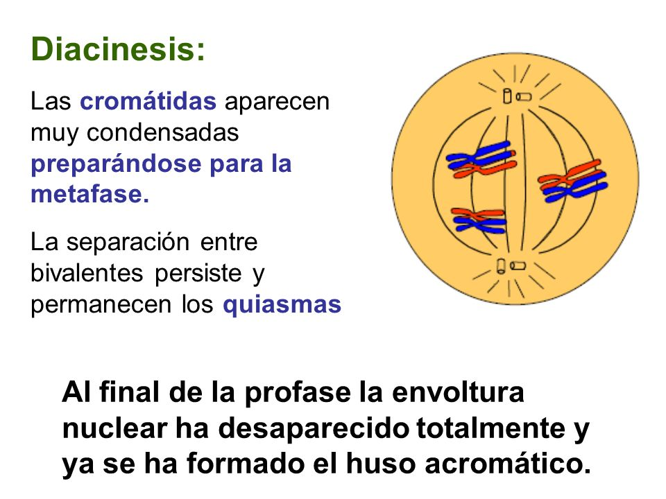 METAFASE I Los bivalentes se disponen sobre el ecuador del huso, pero lo hacen de tal forma que los dos cinetocoros que tiene cada homólogo se orientan hacia el mismo polo, que es el opuesto hacia el que se orientan los dos cinetocoros del otro homólogo.