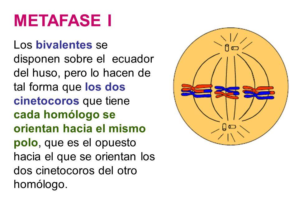 METAFASE I Los bivalentes se disponen sobre el ecuador del huso, pero lo hacen de tal forma que los dos cinetocoros que tiene cada homólogo se orienta