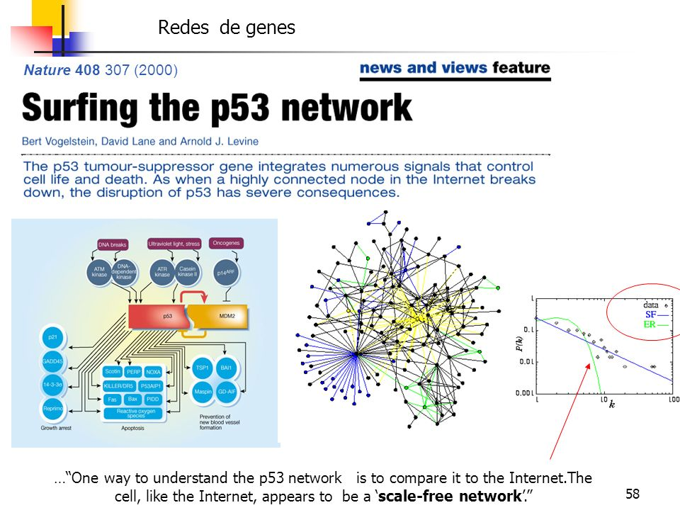 58 Nature 408 307 (2000) …One way to understand the p53 network is to compare it to the Internet.The cell, like the Internet, appears to be a scale-fr