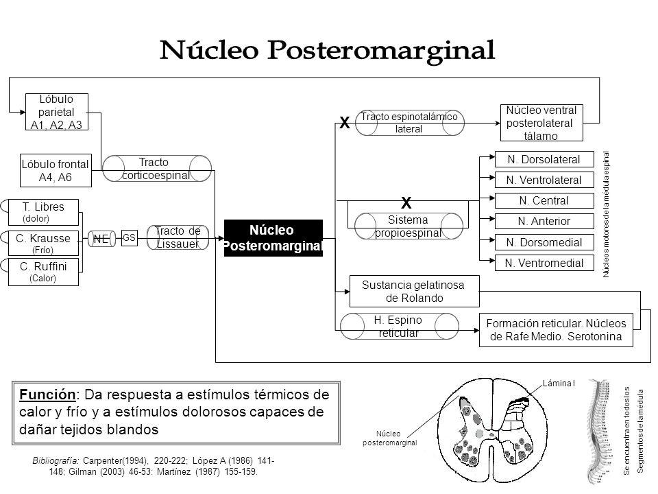 Se encuentra en todos los Segmentos de la médula Sustancia gelatinosa de Rolando Lámina II Tracto corticoespinal C.
