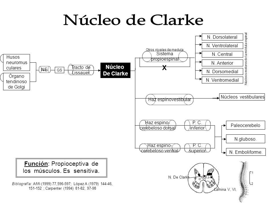 Núcleo Intermediomedial Función: Recibe información viscerosensorial.