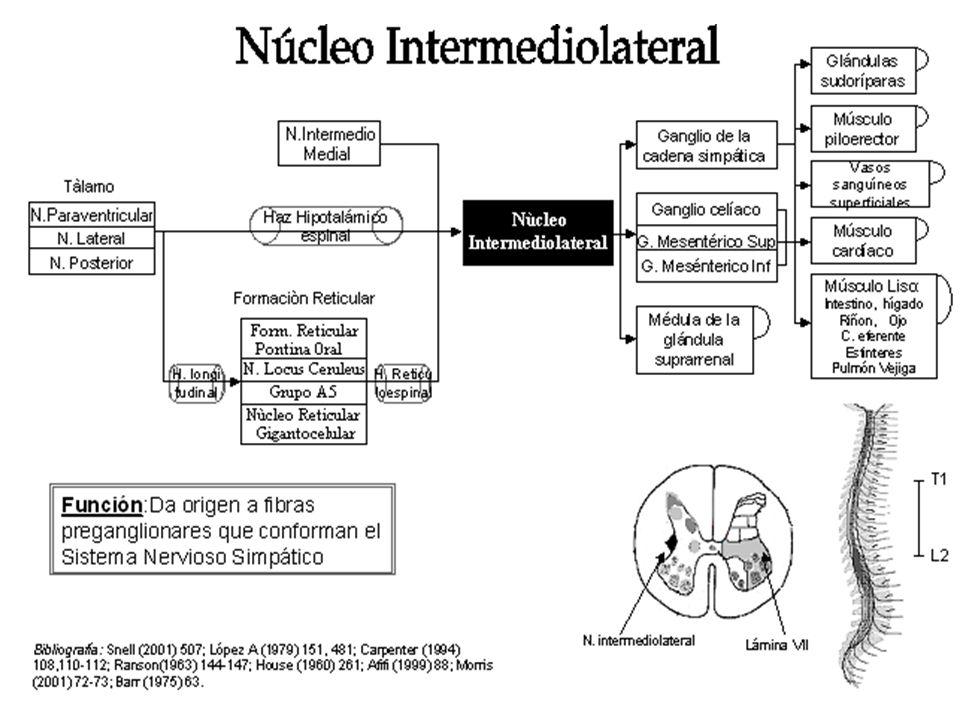 Función:Regula el movimiento de las extremidades por medio de los músculos extensores Bibliografía: Afifi (2002) 64-77; López A (1986) 138-156 ; Carpenter (1994) 228-235; Barr (1975) 77-89; Kandel 663-672.