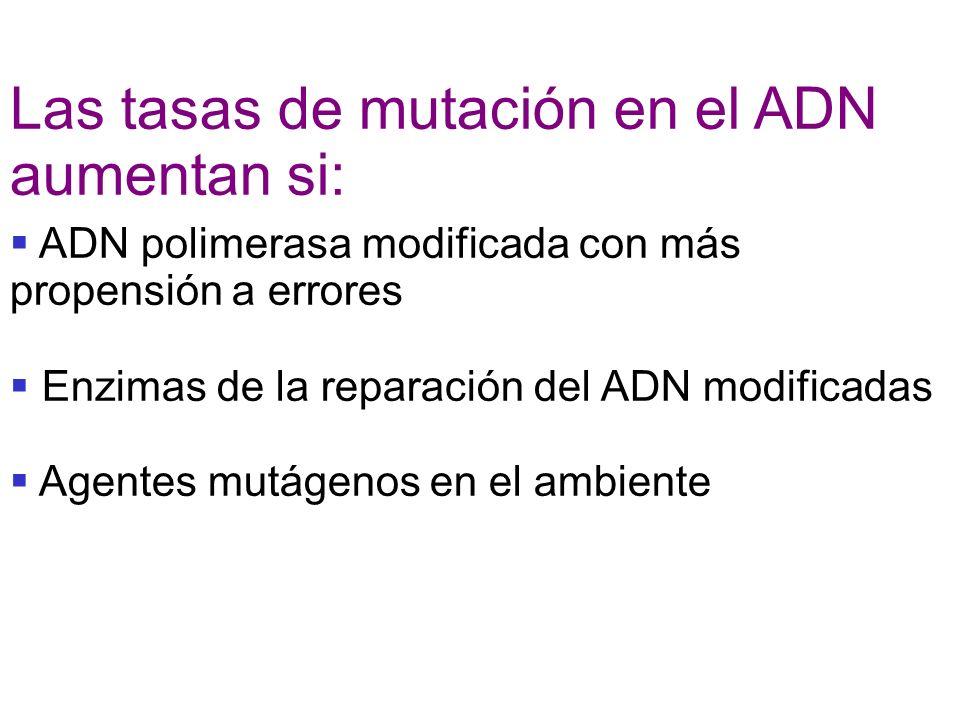Las tasas de mutación en el ADN aumentan si: ADN polimerasa modificada con más propensión a errores Enzimas de la reparación del ADN modificadas Agent