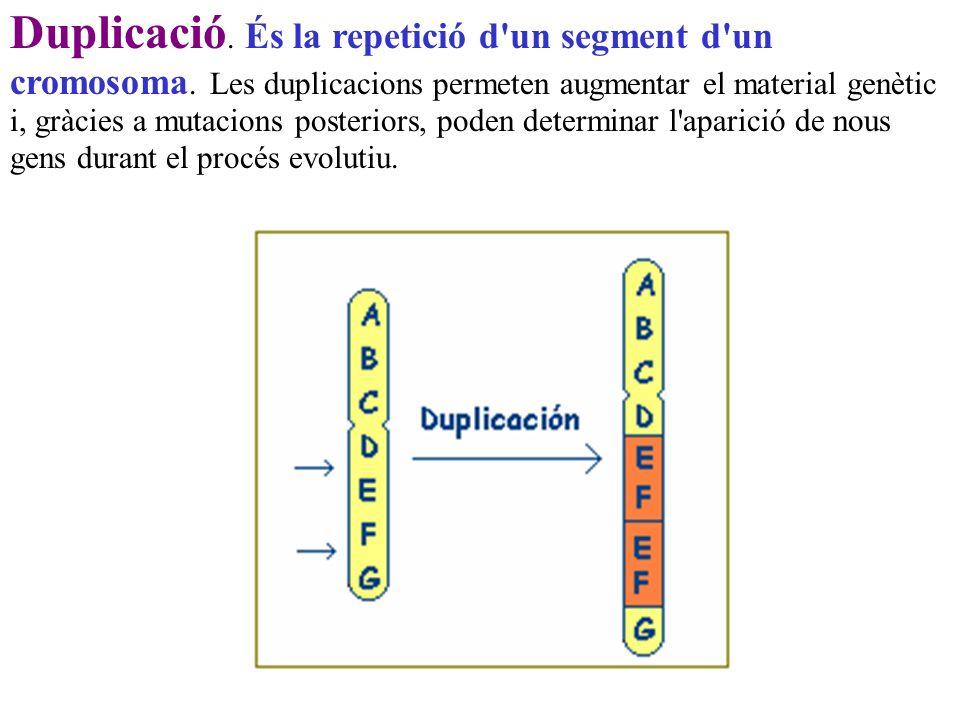Duplicació. És la repetició d'un segment d'un cromosoma. Les duplicacions permeten augmentar el material genètic i, gràcies a mutacions posteriors, po