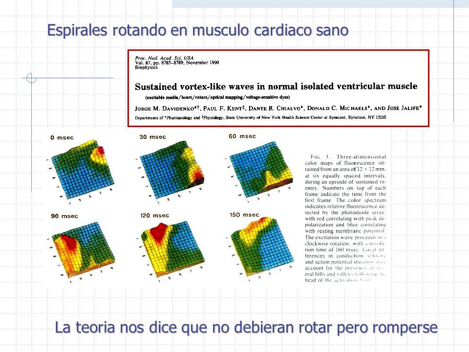 Espirales rotando en musculo cardiaco sano La teoria nos dice que no debieran rotar pero romperse