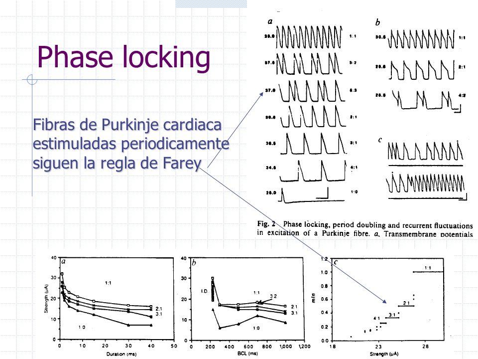 Fibras de Purkinje cardiaca estimuladas periodicamente siguen la regla de Farey Phase locking