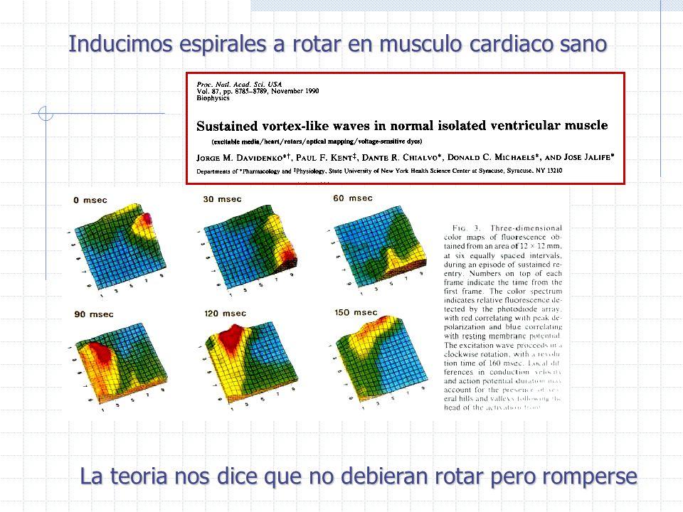 Inducimos espirales a rotar en musculo cardiaco sano La teoria nos dice que no debieran rotar pero romperse