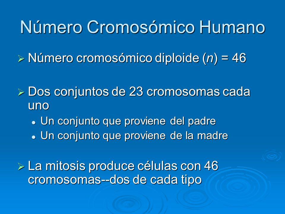 Número Cromosómico Humano Número cromosómico diploide (n) = 46 Número cromosómico diploide (n) = 46 Dos conjuntos de 23 cromosomas cada uno Dos conjun