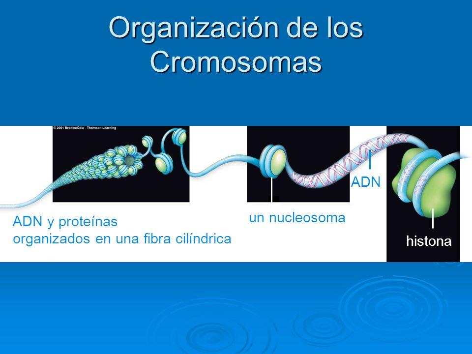 Organización de los Cromosomas ADN y proteínas organizados en una fibra cilíndrica ADN histona un nucleosoma
