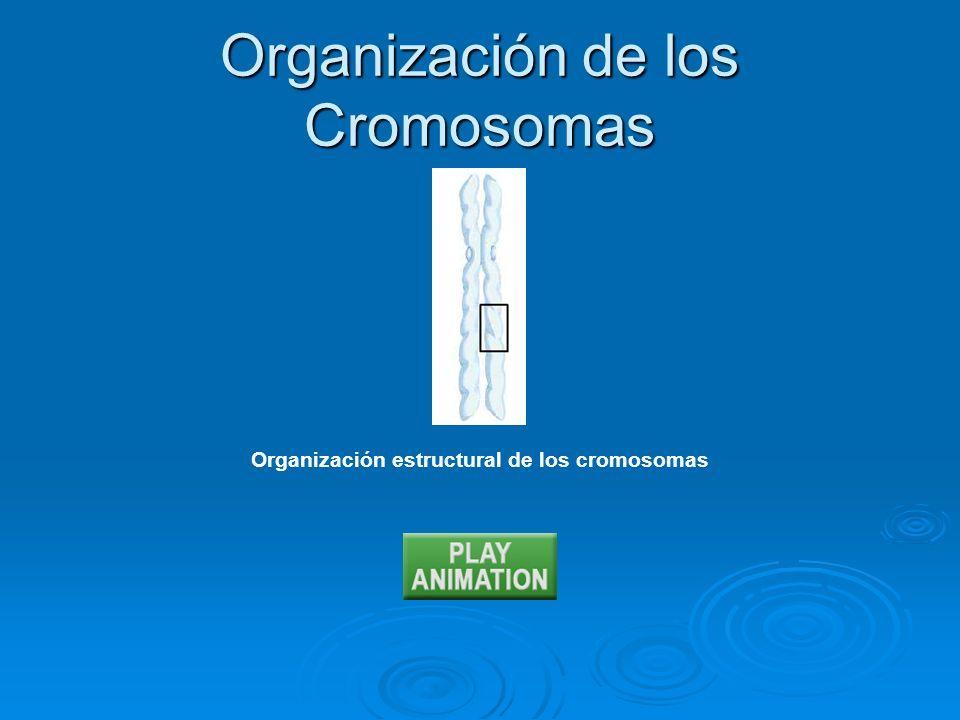Organización estructural de los cromosomas Organización de los Cromosomas
