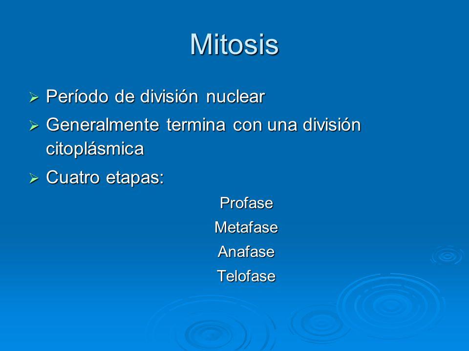 Mitosis Período de división nuclear Período de división nuclear Generalmente termina con una división citoplásmica Generalmente termina con una divisi