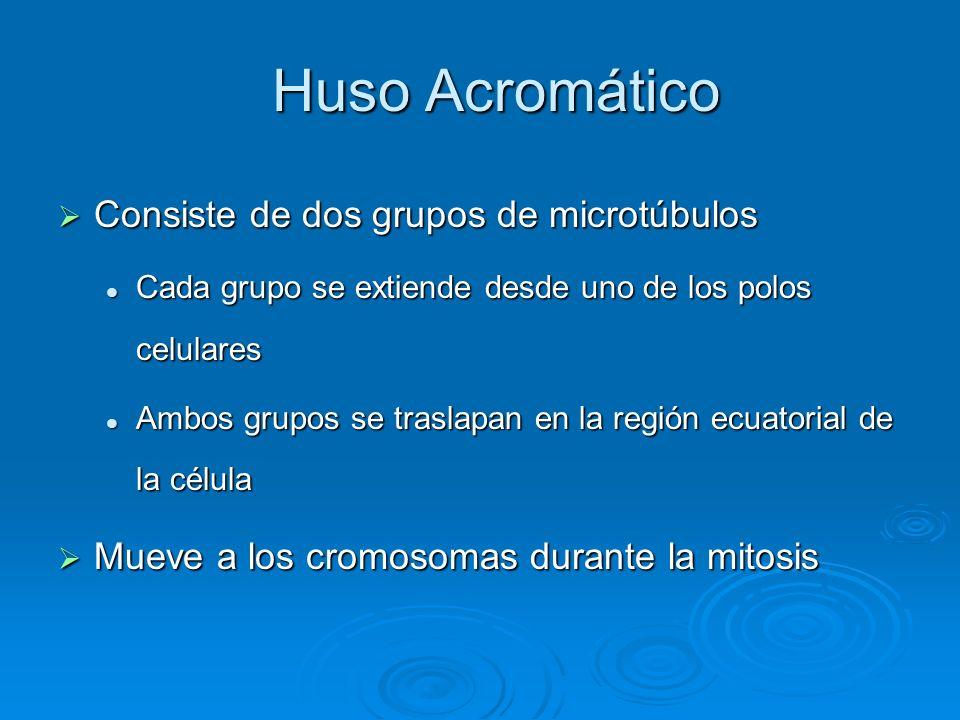 Huso Acromático Huso Acromático Consiste de dos grupos de microtúbulos Consiste de dos grupos de microtúbulos Cada grupo se extiende desde uno de los