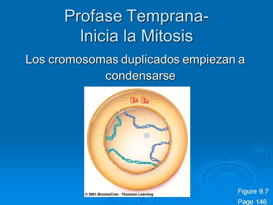 Profase Temprana- Inicia la Mitosis Los cromosomas duplicados empiezan a condensarse Figure 9.7 Page 146