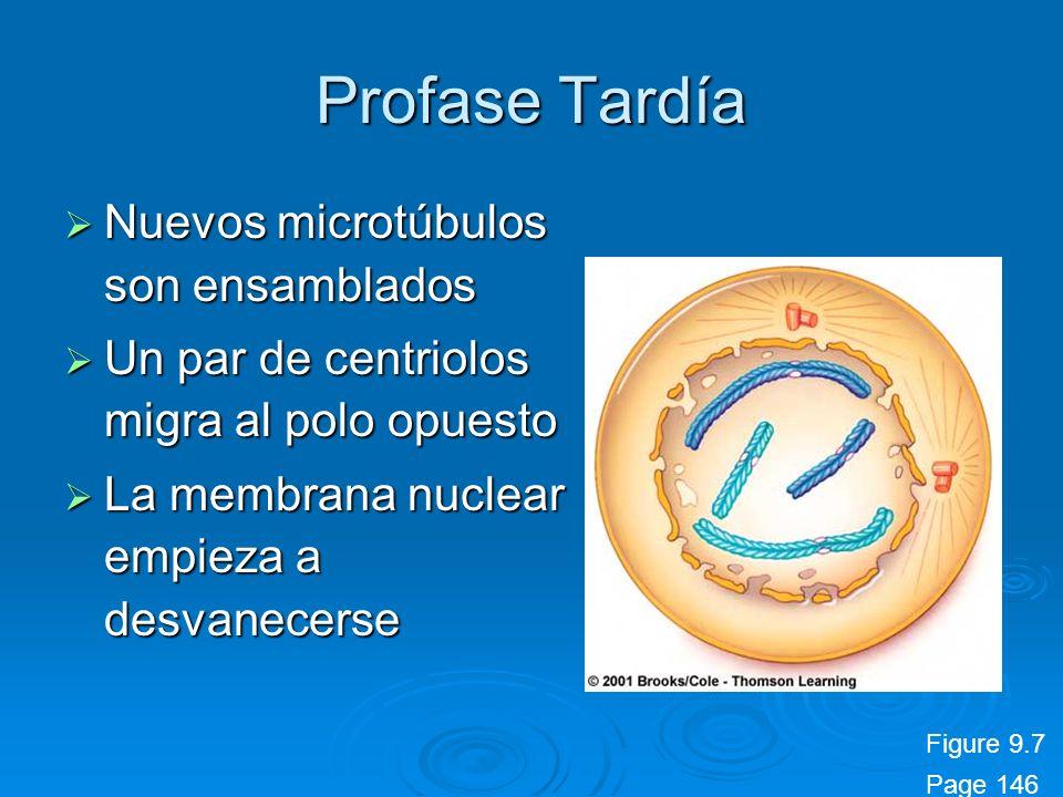 Profase Tardía Nuevos microtúbulos son ensamblados Nuevos microtúbulos son ensamblados Un par de centriolos migra al polo opuesto Un par de centriolos