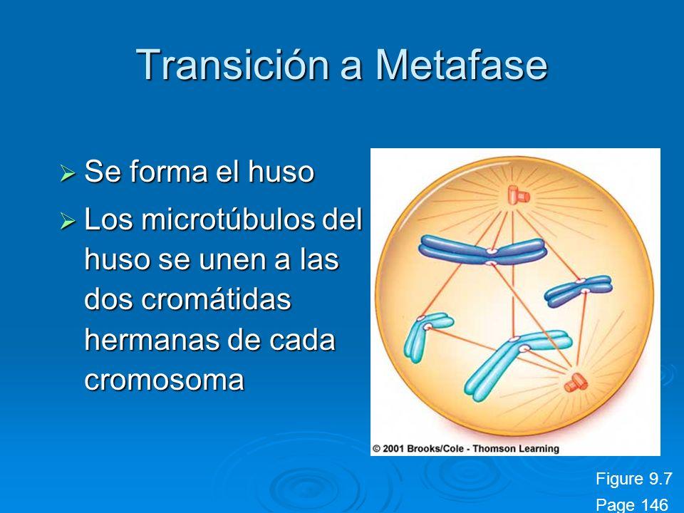 Transición a Metafase Se forma el huso Se forma el huso Los microtúbulos del huso se unen a las dos cromátidas hermanas de cada cromosoma Los microtúb