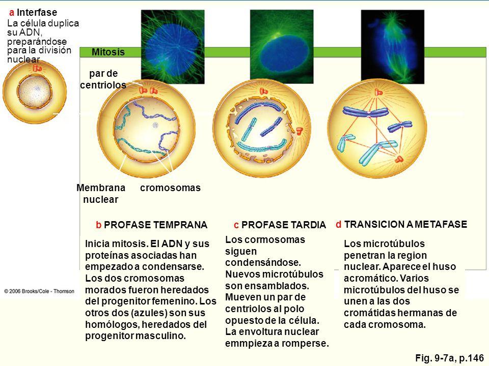 Mitosis par de centriolos Membrana nuclear cromosomas b PROFASE TEMPRANAc PROFASE TARDIA d TRANSICION A METAFASE Inicia mitosis. El ADN y sus proteína
