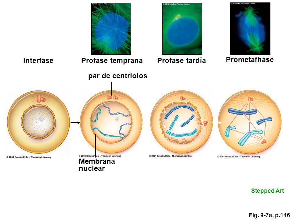 Interfase Membrana nuclear par de centriolos Profase temprana Profase tardía Prometafhase Stepped Art Fig. 9-7a, p.146