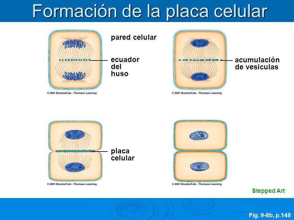 pared celular ecuador del huso placa celular acumulación de vesiculas Stepped Art Fig. 9-8b, p.148