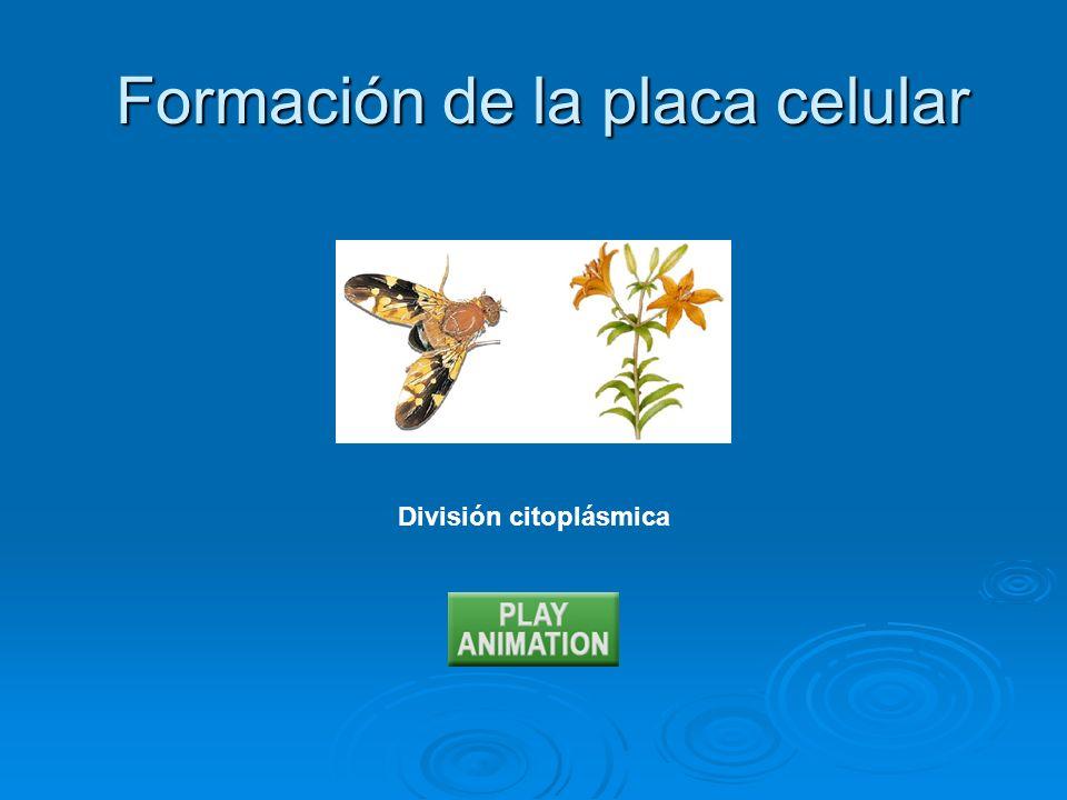 División citoplásmica Formación de la placa celular Formación de la placa celular