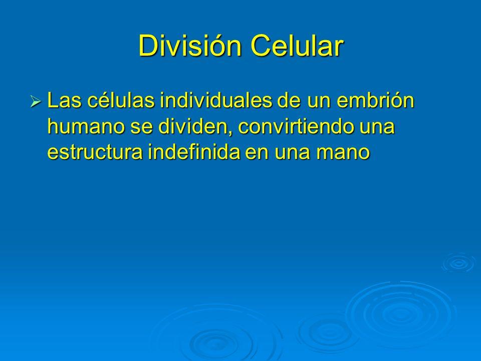 Las células individuales de un embrión humano se dividen, convirtiendo una estructura indefinida en una mano Las células individuales de un embrión hu