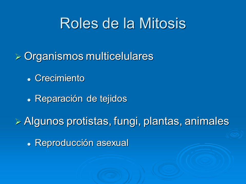 Roles de la Mitosis Organismos multicelulares Organismos multicelulares Crecimiento Crecimiento Reparación de tejidos Reparación de tejidos Algunos pr