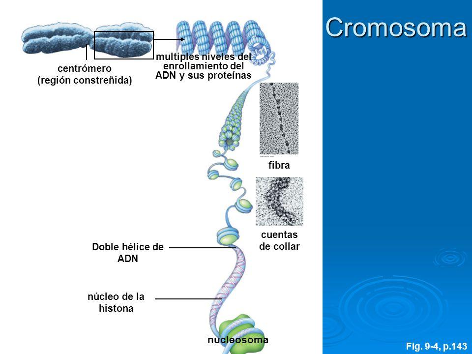 núcleo de la histona fibra centrómero (región constreñida) multiples niveles del enrollamiento del ADN y sus proteínas cuentas de collar Doble hélice