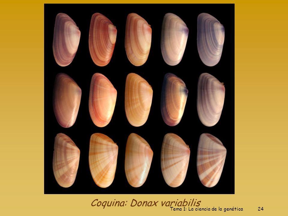 Tema 1: La ciencia de la genética24 Coquina: Donax variabilis