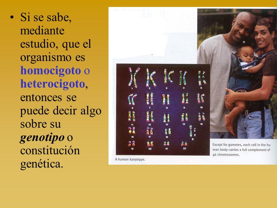 Si se sabe, mediante estudio, que el organismo es homocigoto o heterocigoto, entonces se puede decir algo sobre su genotipo o constitución genética.