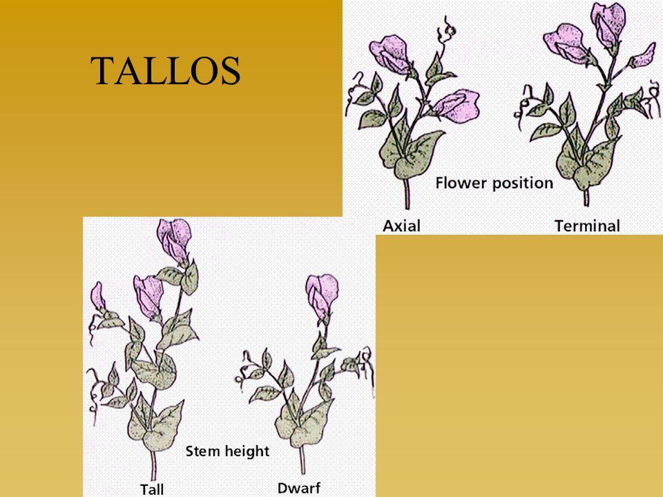 Flor de Guisante La estructura de la flor del guisante resultó también ideal para los cruces experimentales de Mendel.