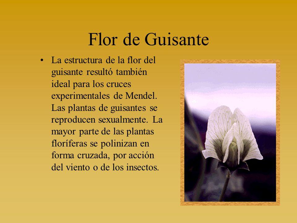 Flor de Guisante La estructura de la flor del guisante resultó también ideal para los cruces experimentales de Mendel. Las plantas de guisantes se rep