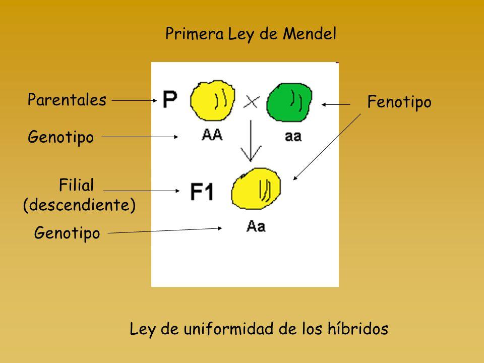 Primera Ley de Mendel Ley de uniformidad de los híbridos