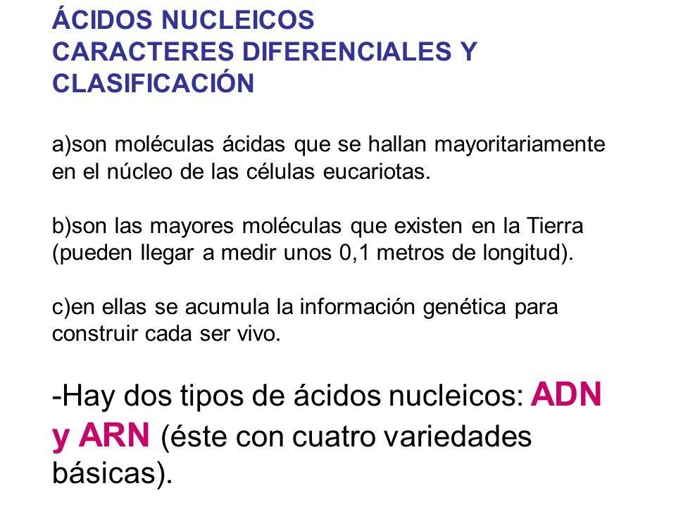 ÁCIDOS NUCLEICOS CARACTERES DIFERENCIALES Y CLASIFICACIÓN a)son moléculas ácidas que se hallan mayoritariamente en el núcleo de las células eucariotas