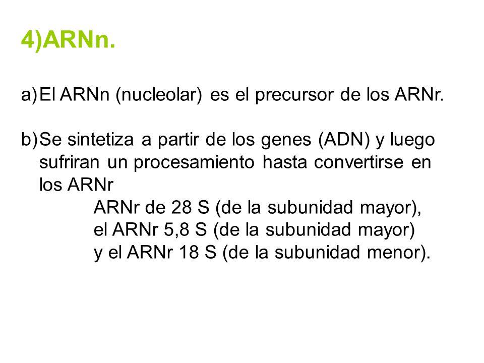 4)ARNn. a)El ARNn (nucleolar) es el precursor de los ARNr. b)Se sintetiza a partir de los genes (ADN) y luego sufriran un procesamiento hasta converti