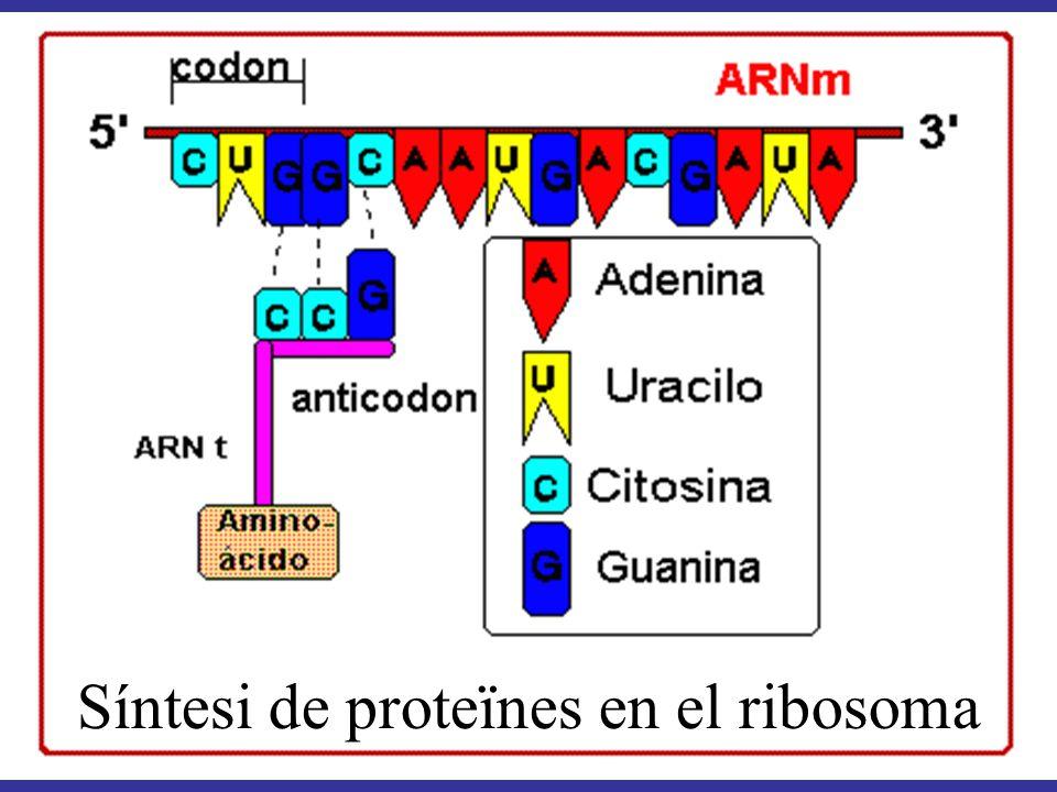 Síntesi de proteïnes en el ribosoma