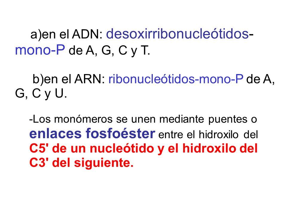 a)en el ADN: desoxirribonucleótidos- mono-P de A, G, C y T. b)en el ARN: ribonucleótidos-mono-P de A, G, C y U. -Los monómeros se unen mediante puente