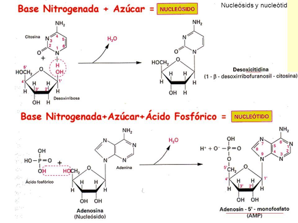 Nucleòsids y nucleòtids
