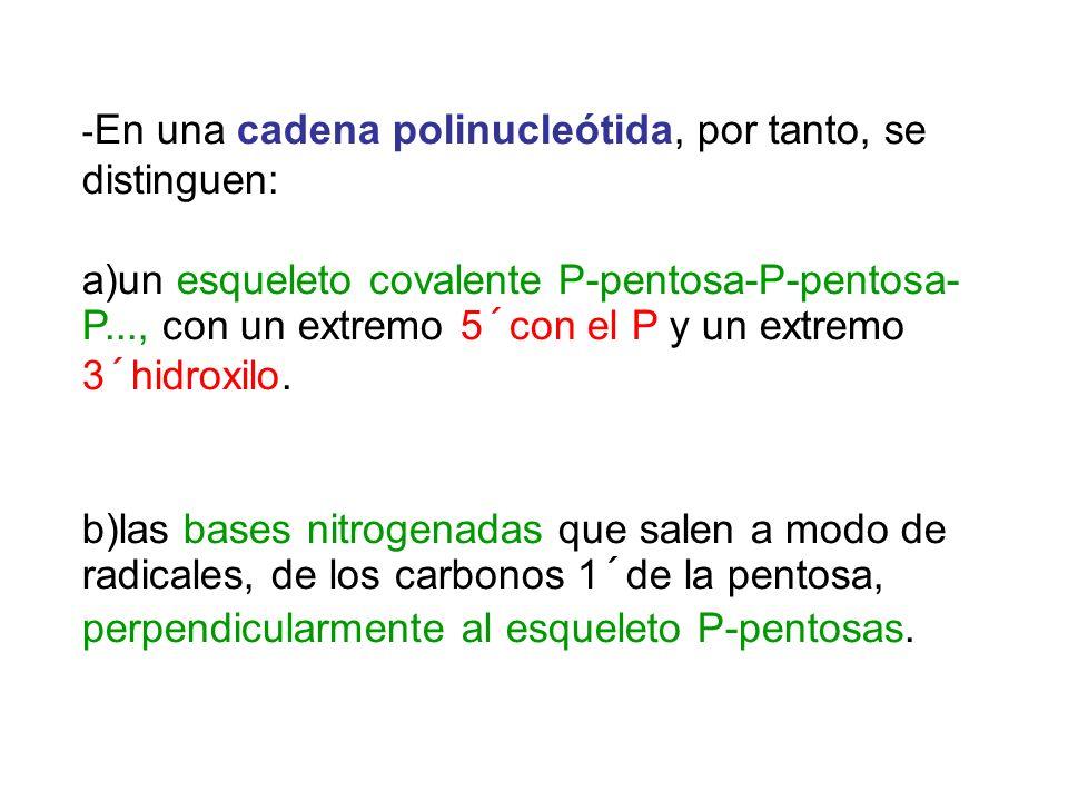 - En una cadena polinucleótida, por tanto, se distinguen: a)un esqueleto covalente P-pentosa-P-pentosa- P..., con un extremo 5´con el P y un extremo 3