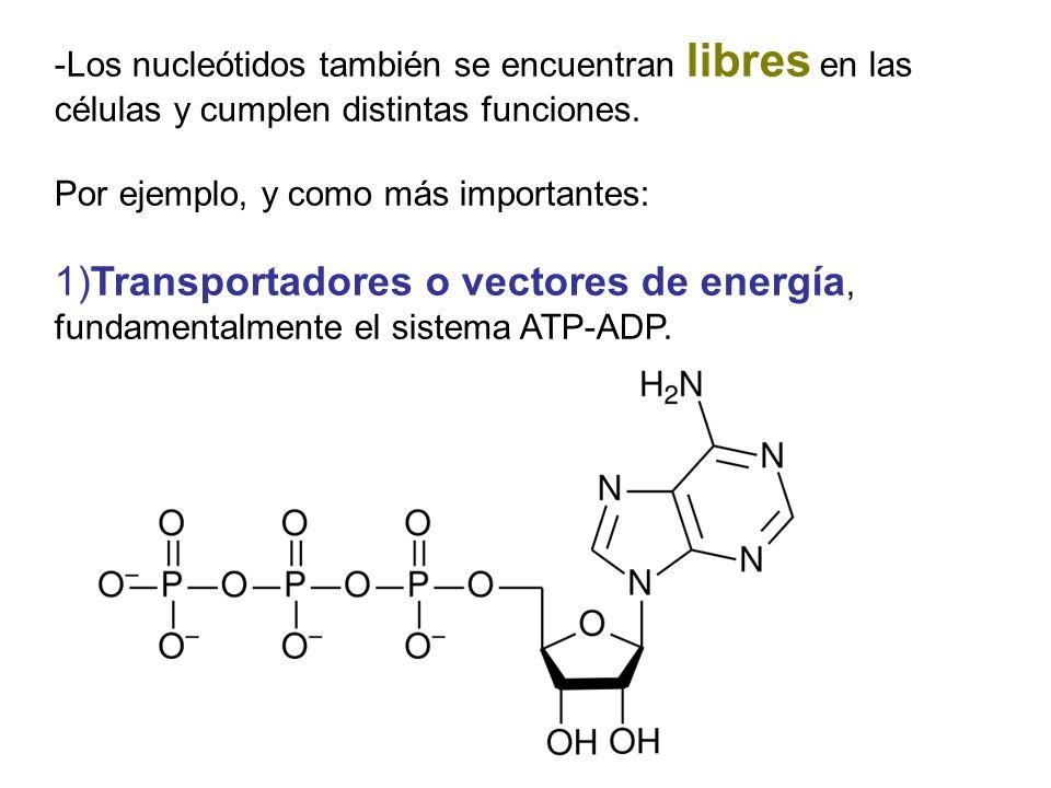 -Los nucleótidos también se encuentran libres en las células y cumplen distintas funciones. Por ejemplo, y como más importantes: 1)Transportadores o v