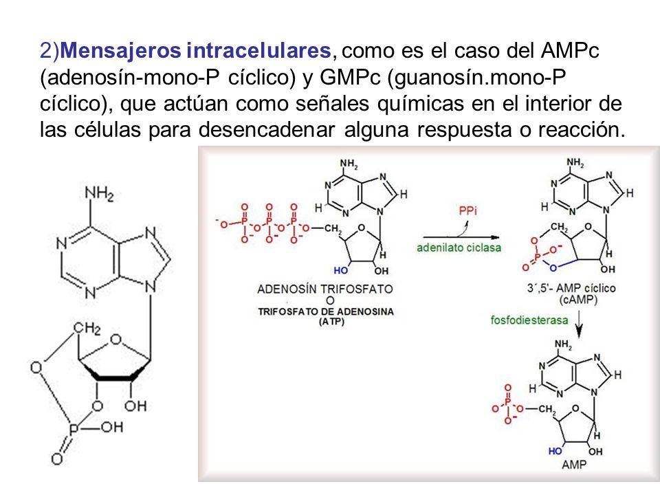 2)Mensajeros intracelulares, como es el caso del AMPc (adenosín-mono-P cíclico) y GMPc (guanosín.mono-P cíclico), que actúan como señales químicas en