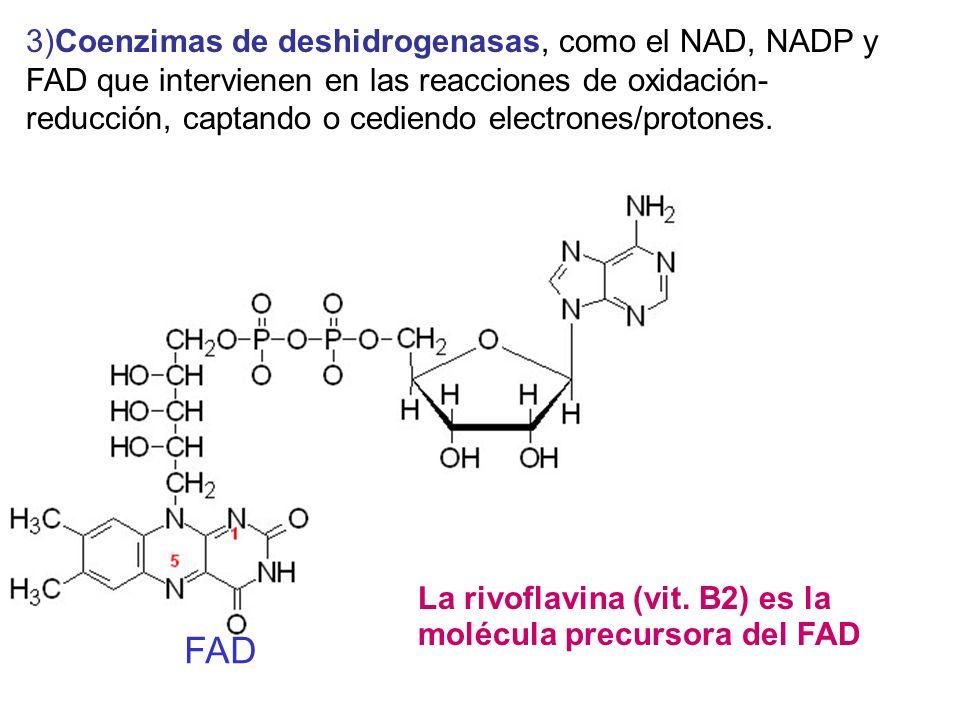 3)Coenzimas de deshidrogenasas, como el NAD, NADP y FAD que intervienen en las reacciones de oxidación- reducción, captando o cediendo electrones/prot