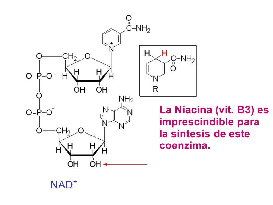 NAD + La Niacina (vit. B3) es imprescindible para la síntesis de este coenzima.