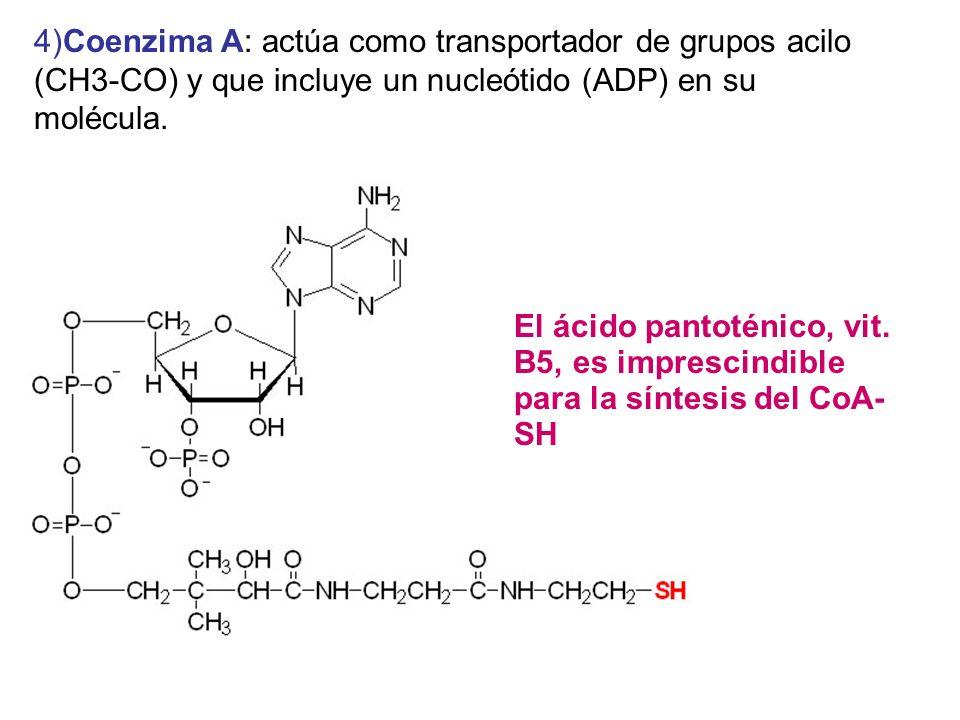 4)Coenzima A: actúa como transportador de grupos acilo (CH3-CO) y que incluye un nucleótido (ADP) en su molécula. El ácido pantoténico, vit. B5, es im