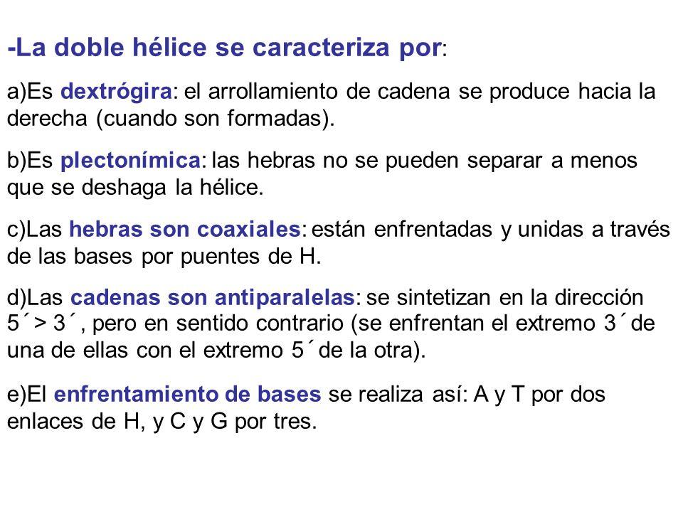 -La doble hélice se caracteriza por : a)Es dextrógira: el arrollamiento de cadena se produce hacia la derecha (cuando son formadas). b)Es plectonímica