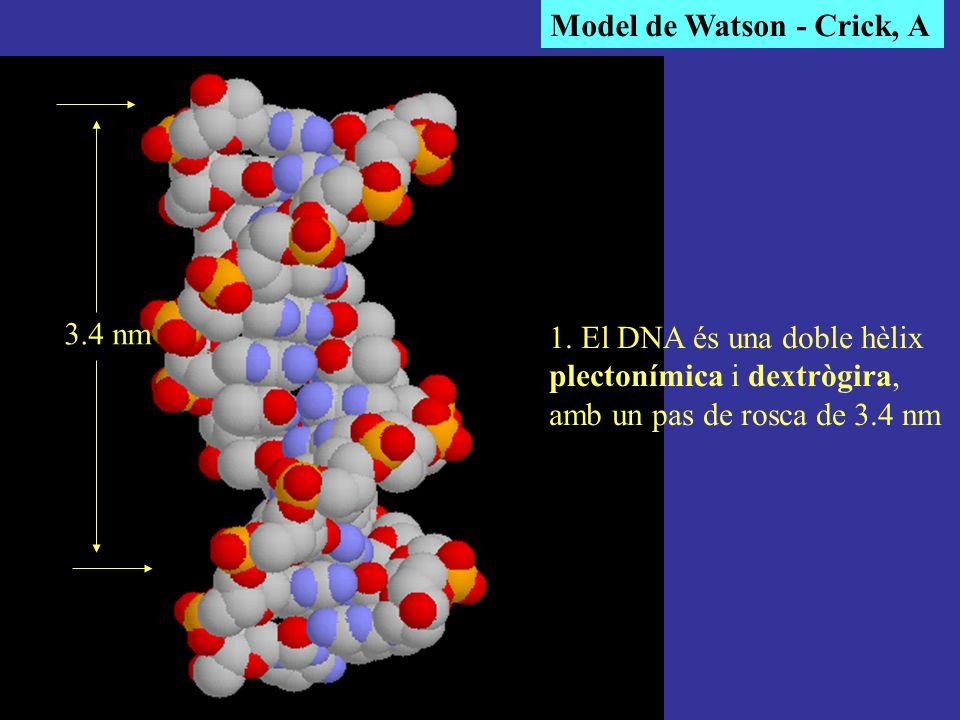 1. El DNA és una doble hèlix plectonímica i dextrògira, amb un pas de rosca de 3.4 nm 3.4 nm Model de Watson - Crick, A
