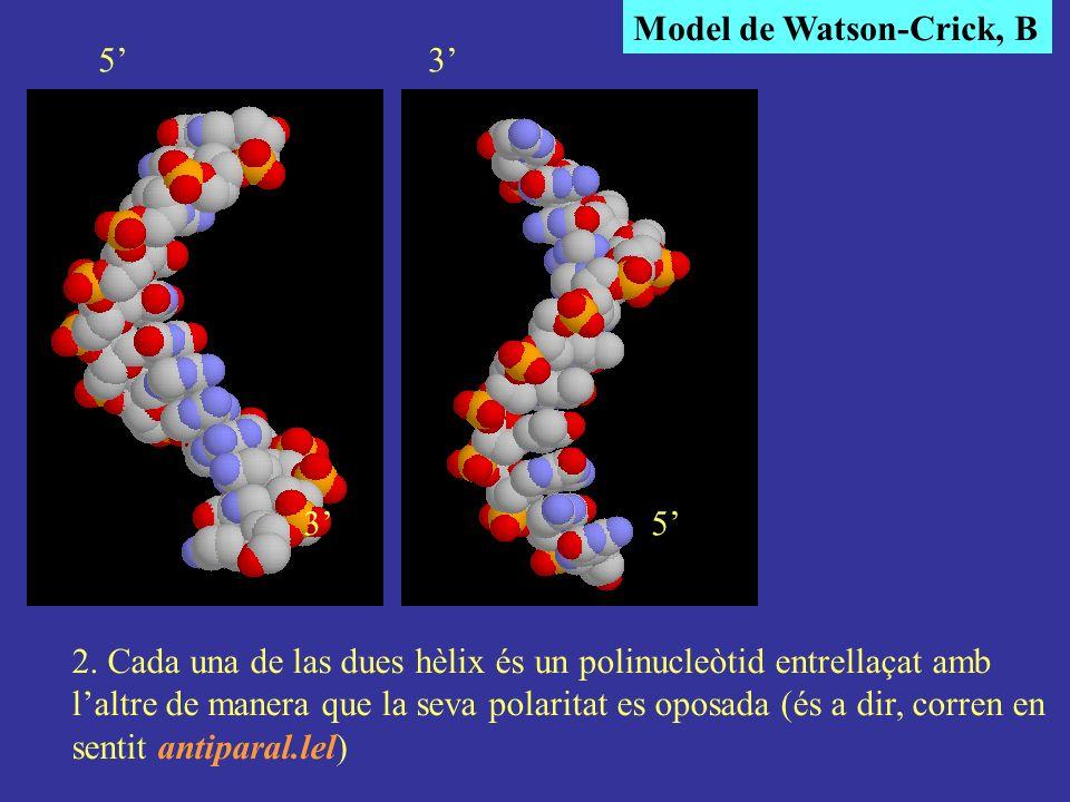 Model de Watson-Crick, B 2. Cada una de las dues hèlix és un polinucleòtid entrellaçat amb laltre de manera que la seva polaritat es oposada (és a dir