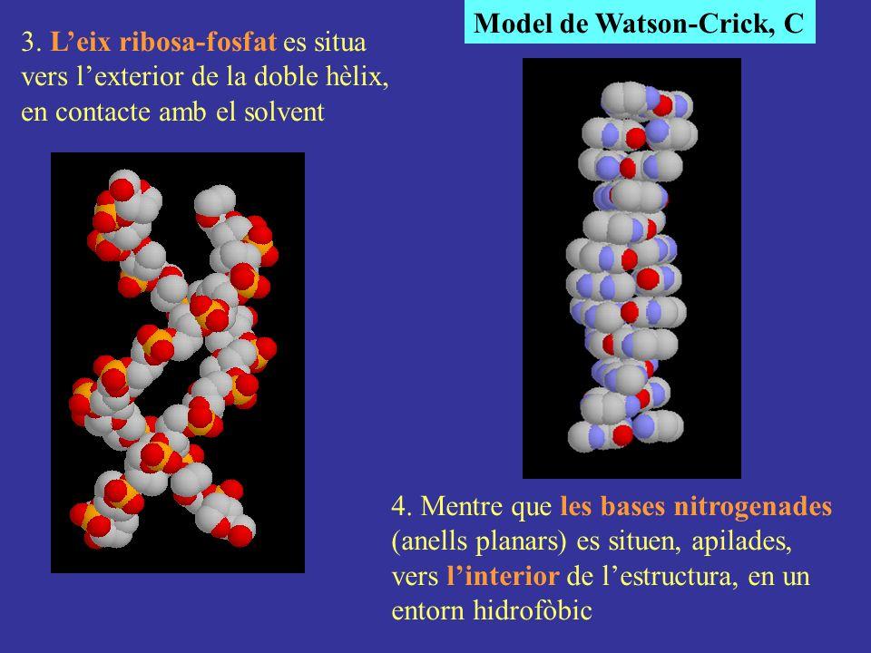 3. Leix ribosa-fosfat es situa vers lexterior de la doble hèlix, en contacte amb el solvent 4. Mentre que les bases nitrogenades (anells planars) es s