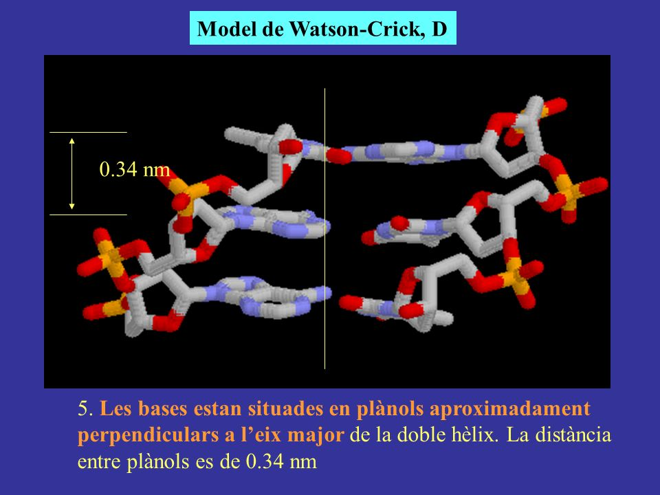 5. Les bases estan situades en plànols aproximadament perpendiculars a leix major de la doble hèlix. La distància entre plànols es de 0.34 nm Model de