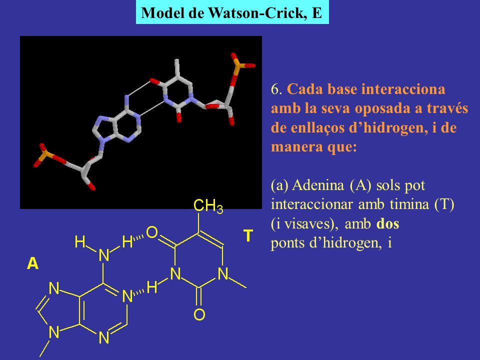 Model de Watson-Crick, E 6. Cada base interacciona amb la seva oposada a través de enllaços dhidrogen, i de manera que: (a) Adenina (A) sols pot inter
